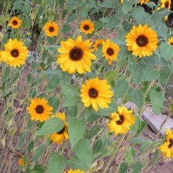Schulgarten_Sonnenblumen
